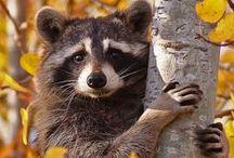♠ raccoons ♠