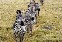 ♠ zebras ♠