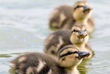 ❤ ducks & goose ❤