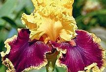 You Can't  Best Mother Nature  / A good photographer can create a magical feast for the eyes in the capture of nature at its best.  Thank you all for sharing.  My love, the Iris, shows nature's majesty in color and variety to feast an artist's eye for a lifetime. / by Carmen Martinez