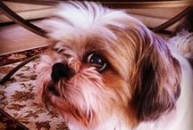 Shih Tzus: Best Dog Ever / Some things just make me smile no matter what and one of those things includes this breed of dog. I especially ❤ ️our family shih tzu, Pogi.