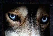 Husky Forever / see and you'll be love it