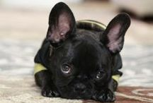We love them!  / French Bulldogs are our weakness, what can we say, we just can't help it.