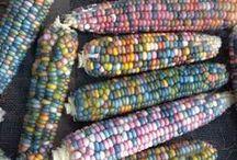 Kleur in de tuin / Van roze tuinbonen tot blauwe mais, gekke gekleurde groenten, fruit en bladgewassen.