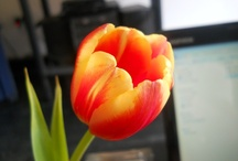 Amamos los tulipanes