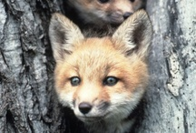 Foxes ..... Beautifull as they are