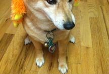 My breed Shiba Inu / Just about everything I can find on Shibas ! / by Ariane M