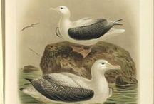 Bird illustrations / paintings