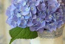 Flowers:  Hydrangeas