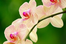 Flowers: Orchids