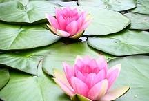 Flowers:  Lotus