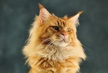 Maine Coon / by Irina&Andrew