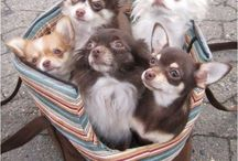 Chihuahuas / Cute pictures of Chihuahuas. To help me decide what colour we will want for our next dog!