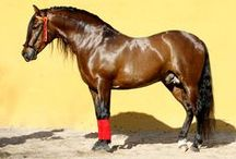 Majestic-Andalusians / Horses from Majestic Andalusians by Jerez de la Frontera