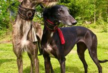 Meidän Galgot / Espanjan vinttikoiramme, eli Galgot ovat tulleet suoraan Espanjasta, adoptoitu. The Galgo Español or Spanish greyhound is an ancient breed and a member of the sighthound family. We adopt first Francis, summer 2017 and Kleitos came Finland  in winter 2018.
