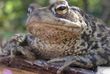 UK Amphibians / This board is a hommage to our amphibian friends - frogs, toads and newts...