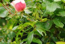 Gardening: Roses