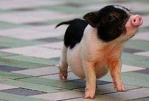 Piggies ❤