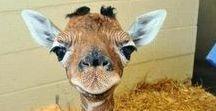 Giraffes :) / My favourite animal!!