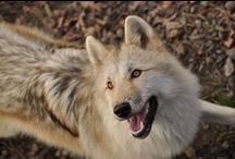 Beautiful wolves / Wolves are my favorite animals ❤  see here all kinds of beautiful photos & facts, and see the photographers :)