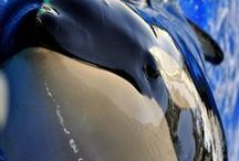beautiful killer whales / 2nd favorite marine animal. I find the dolphin the nicest, but the killer whale is the most beautiful