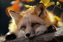 beautiful foxes / Foxes are one of the most beautiful animals. That's why I make this album! They are in my top 10