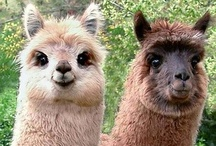 Alpacas / I'm in love with alpacas, and you should be too.  / by Christopher Sanford