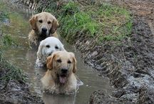 Retrievers Golden / In memory of Jennifer, Chrystal, Sienna, Ute, and honor of Rin. / by Cassy Dal