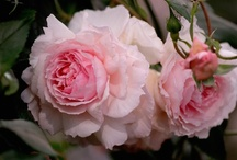 Old Garden Roses / ... roses are such beautiful creatures ♥