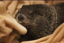 Groundhog Ball / The Punxsutawney Groundhog Club Inner Circle's Groundhog Ball will feature Rudy and the Professionals on Friday, January 31 , 2014 at the Punxsutawney Elks Lodge. The event will go from 8 p.m.- 12 a.m.  Get your tickets today! http://www.groundhog.org/things-to-do/groundhog-ball/