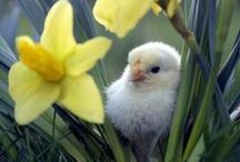 Little Chucks / I aim to one day have a small holding and have some chickens, meanwhile, I can dream....