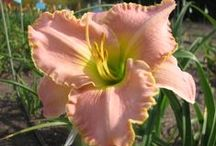 Flowers - daylilies / Flowers, specifically cold hardy daylilies.