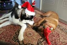 My furry kids / Sheba is our baby girl Alaskan malamute. Odin is our baby boy Belgian malinois.