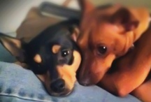 Miniature Pinscher Puppy / Miniature Pinscher puppies for sale / by Keystone Puppies