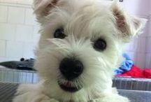 Westies / Cute puppy pics