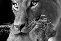 lioness/tiger project