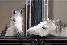 Spanish Riding School Stallions / The World Famous Lipizzan Stallions