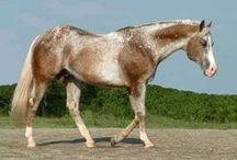 Other colors of horses / Other colors and patterns - rabicano brindle, bend or spots, lacing, dominant white/albino