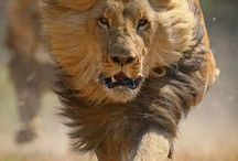 Wild cats/Lions