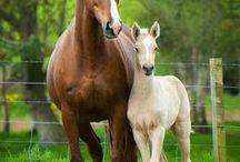 Horses/Foals