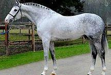 Horses/Holsteiner
