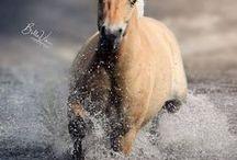 Horses/Fjord