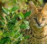 Wild cats/Servals