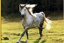 Horses/Grey / - Steel grey - dapple grey - rose grey - light grey - fleabitten grey - bloodmarks