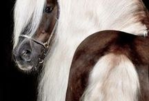 Horse's colors/Silver dapple/Liver chestnut/Chocolate palomino