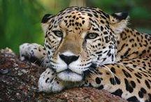 Wild cats/Jaguars