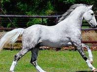 Horses/Irish draught horses