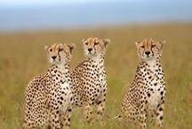 Wild cats/Cheetah