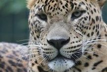 Wild cats/Leopards
