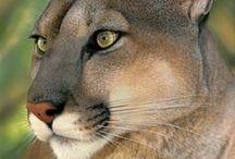 Wild cats/Mountain lion